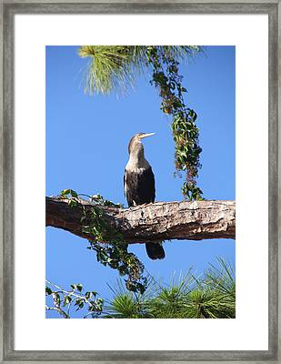 Female Anhinga Framed Print by Rosalie Scanlon