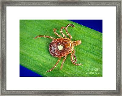 Female Lone Star Tick Framed Print by Science Source