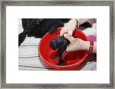 Female Poodle Gives Birth Framed Print by Photostock-israel