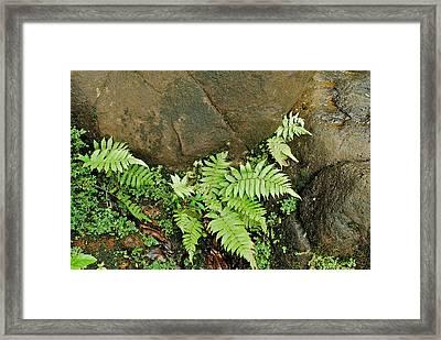 Ferns Framed Print by Michael Peychich