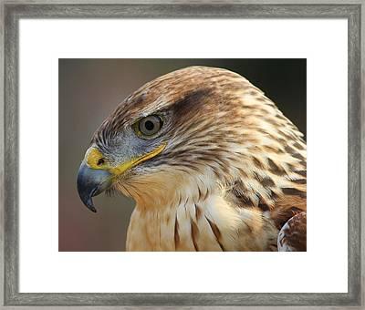 Ferruginous Hawk Framed Print by Paulette Thomas