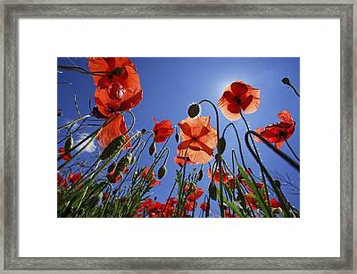 Field Of Poppies At Spring Framed Print