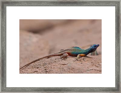 Flat Lizard Framed Print by Hein Welman