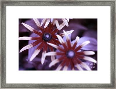Flower Rudbeckia Fulgida In Uv Light Framed Print by Ted Kinsman