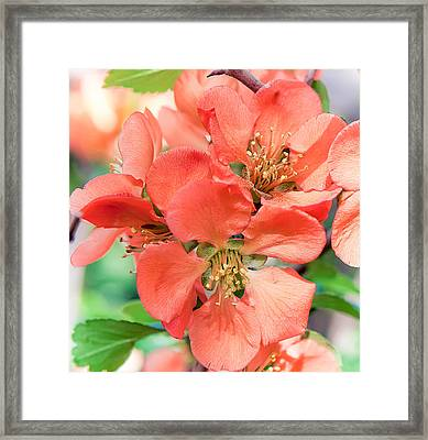 Flowering Quince Framed Print by Anna Rumiantseva