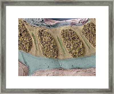 Foetal Spinal Column Framed Print by Steve Gschmeissner