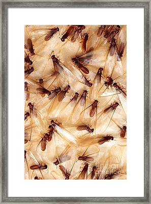 Formosan Termites Framed Print by Science Source