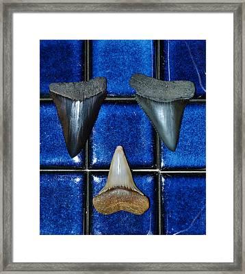 Fossil Great White Shark Teeth Framed Print by Werner Lehmann