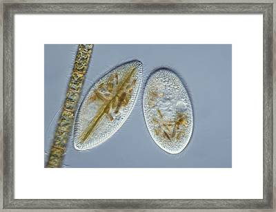 Frontonia Protozoa, Light Micrograph Framed Print by Frank Fox