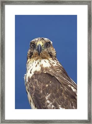 Galapagos Hawk Buteo Galapagoensis Framed Print by Tui De Roy