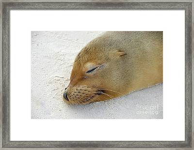 Galapagos Sea Lion Sleeping On Beach Framed Print by Sami Sarkis