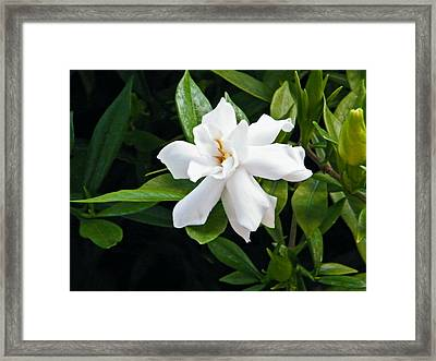 Framed Print featuring the photograph Gardenia by Brian Wright