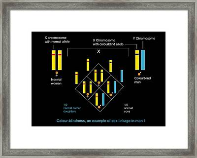 Genetics Of Colour Blindness, Diagram Framed Print