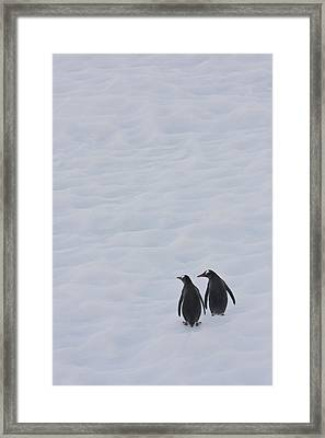 Gentoo Penguins Climb The Side Of An Framed Print