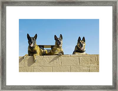 German Shephard Military Working Dogs Framed Print by Stocktrek Images
