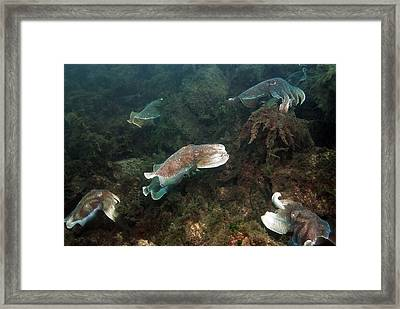 Giant Cuttlefish Framed Print by Georgette Douwma