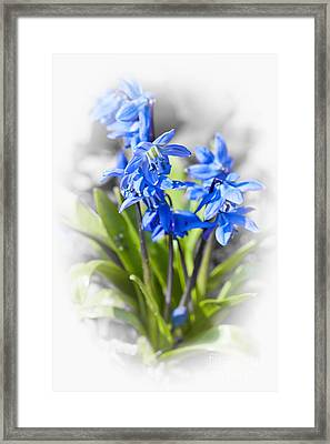 Spring Blue Flowers Wood Squill Framed Print by Elena Elisseeva