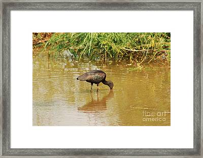 Glossy Ibis  Framed Print