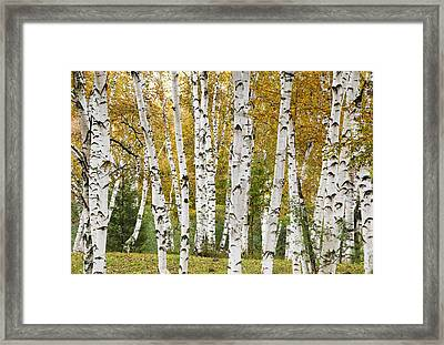 Golden Birches Framed Print by Gordon Ripley