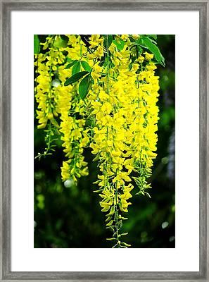 Golden Chain Tree Framed Print