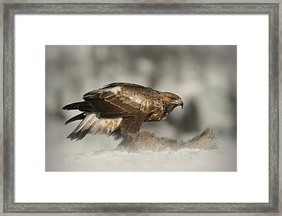 Golden Eagle Framed Print by Andy Astbury
