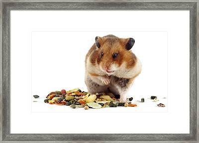 Golden Hamster Framed Print by Jane Burton