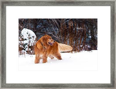 Golden Retriever In Snow Framed Print by Matt Dobson