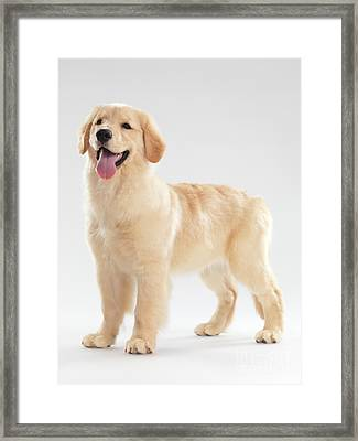 Golden Retriever Puppy Framed Print by Oleksiy Maksymenko