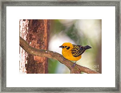 Golden Tanager Framed Print
