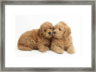 Goldendoodle Puppies Framed Print by Mark Taylor