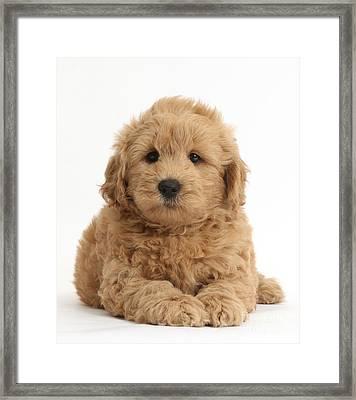 Goldendoodle Puppy Framed Print