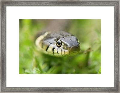 Grass Snake Framed Print by Adrian Bicker