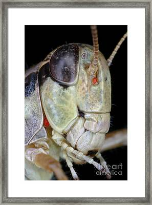 Grasshopper With Parasitic Mite Framed Print by Ted Kinsman