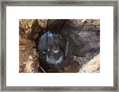 Gray Squirrel Framed Print by Ted Kinsman