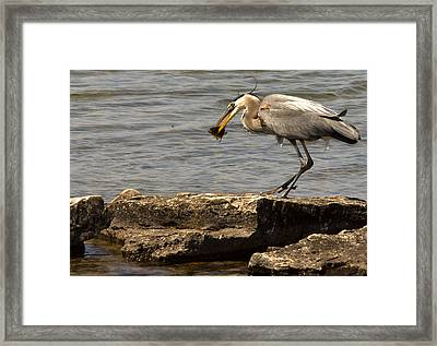 Great Blue Heron Framed Print by Cale Best