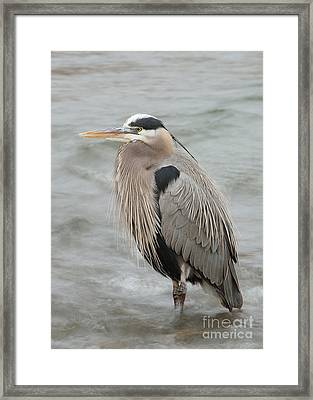 Framed Print featuring the photograph Great Blue Heron by Doug Herr
