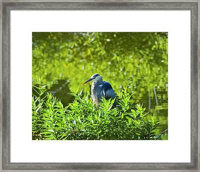 Great Blue Heron Hiding Framed Print by J Larry Walker