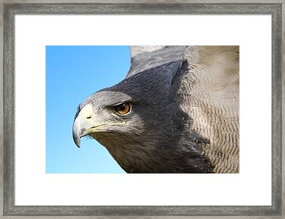 Great-chested Buzzard Eagle Framed Print