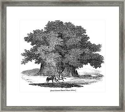 Great Chestnut Tree Framed Print by Granger