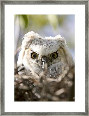 Great Horned Owl Babies Owlets In Nest Framed Print by Mark Duffy