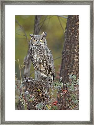 Great Horned Owl In Its Pale Form Framed Print by Tim Fitzharris