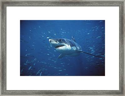 Great White Shark Carcharodon Framed Print