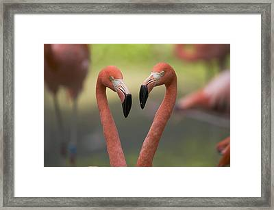 Greater Flamingo Phoenicopterus Ruber Framed Print