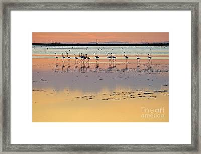 Greater Flamingos In Pond At Sunset Framed Print by Sami Sarkis
