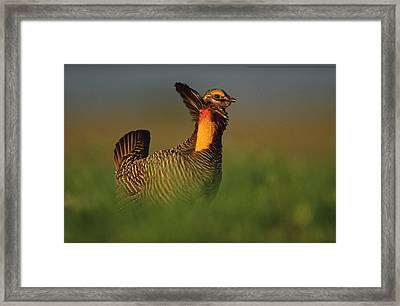 Greater Prairie Chicken Male Framed Print by Tim Fitzharris
