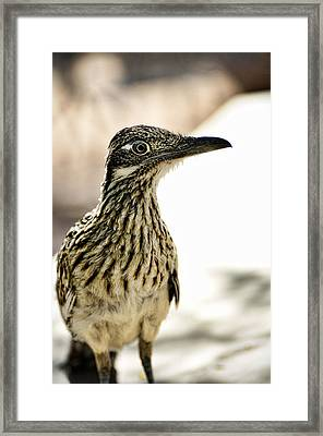 Greater Roadrunner  Framed Print by Saija  Lehtonen