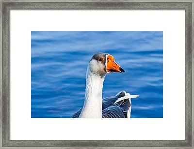Greater White-fronted Goose 2 Framed Print by Ann Murphy