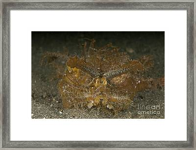 Green Ambon Scorpionfish, North Framed Print by Mathieu Meur