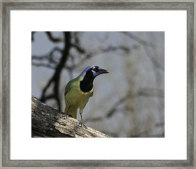 Framed Print featuring the photograph Green Jay by Betty Depee