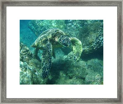 Green Sea Turtle Hawaii Framed Print by Bob Christopher